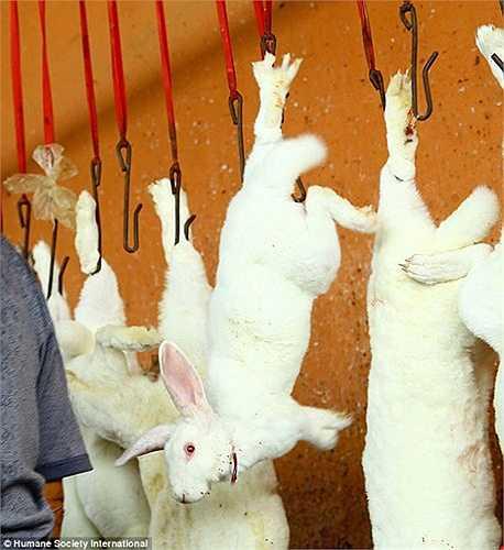 Hàng ngày, cơ sở lột da thỏ này giết tới hơn 10.000 con để lấy da chủ yếu phục vụ ngành công nghiệp thời trang.