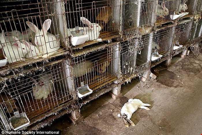 Chuồng trại nuôi thỏ khá mất vệ sinh.