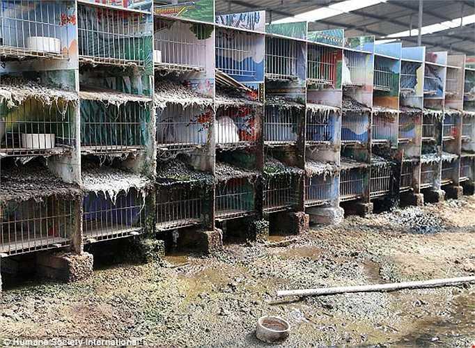 Cảnh môi trường nuôi thỏ thiếu vệ sinh tại một trang trại.