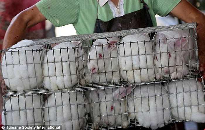 Những con thỏ trắng bị nhồi nhét vào lồng rất nhỏ không thể đứng lên.