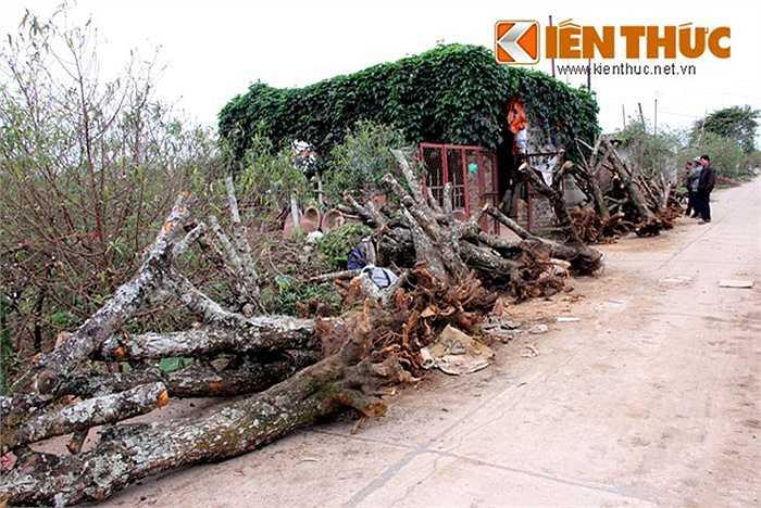 Vào 'vụ mùa làm mật', những gốc đào rừng được mua từ các tỉnh Lạng Sơn, Mộc Châu được đem về Hà Nội để chuẩn bị ghép với các loại 'đào nhà' (đào bích) để cho nhiều gốc đào 'khủng' chơi Tết đổ đống ven đường.