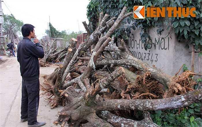 Nhiều người đến chọn gốc đào ưng ý để chuẩn bị cho một vụ Tết. Mỗi gốc đào rừng được rao bán từ 1- 3 triệu đồng. Cá biệt có những gốc đắt hơn tùy vào kích thước, thế, tuổi đời.