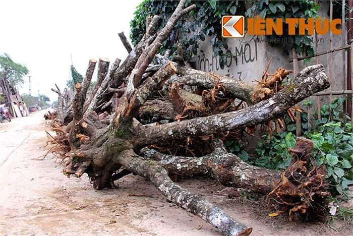 """Các gốc đào rừng được """"tuyển"""" về để bán cho người trồng đào đều có từng thế riêng. Các gốc xù xì, kích thước lớn, bộ rễ vẫn còn bám nhiều đất đá. Theo những người trồng đào, chuyện ghép đào thành công phụ thuộc nhiều yếu tố. Những cây đào ghép có tuổi thọ đến khoảng 3 năm."""