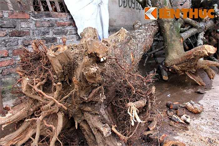 Tuy cầu kỳ công chăm sóc, nhưng nhiều người vẫn mang đào rừng về lai đào phố bởi thu lãi nhanh, hiệu quả cao.