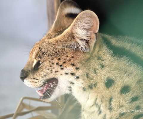 Mèo đốm châu Phi