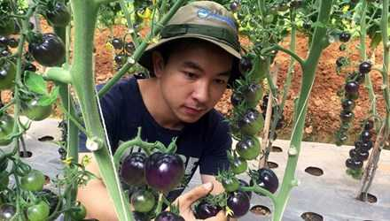 Anh Đăng trong vườn cà chua đen của mình.