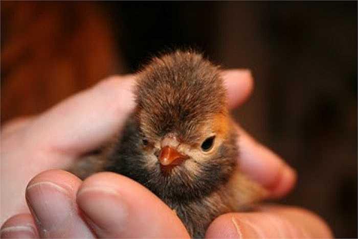Hiện người muốn mua giống gà này có thể mua con giống với giá 'mềm' hơn rất nhiều so với con trưởng thành (tùy theo độ tuổi của gà).