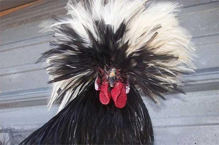 Mặc dù chiếc bờm lông trên đầu khiến chúng nổi bật và khác biệt, song nhúm lông này cũng khiến gà đôi khi bị che khuất tầm nhìn.