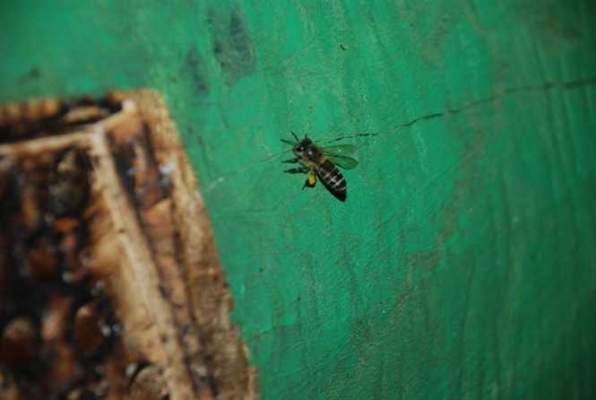 Ong mang hai túi phấn ở sau chân