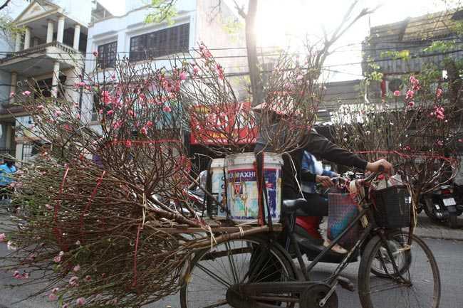 Trong những ngày se lạnh của Hà Nội cuối năm. Những cành đào nở hoa rực rỡ đã được người trồng hoa Nhật Tân mang xuống phố bán, phục vụ nhu cầu chơi hoa Tết Dương lịch.