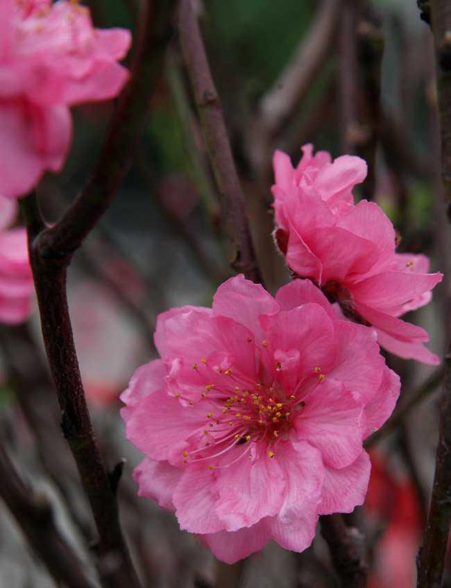 Đào già mới cho ra những bông hoa to và đẹp, một người bán hoa đào nhiều năm ở chợ Quảng Bá cho biết.