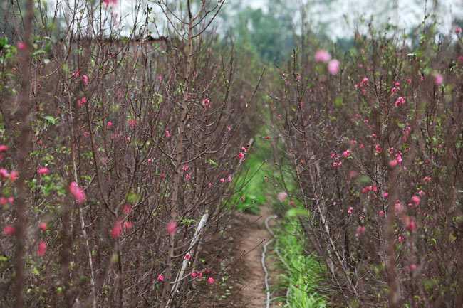 Một số luống đào ở Nhật Tân cũng bắt đầu ra nụ.