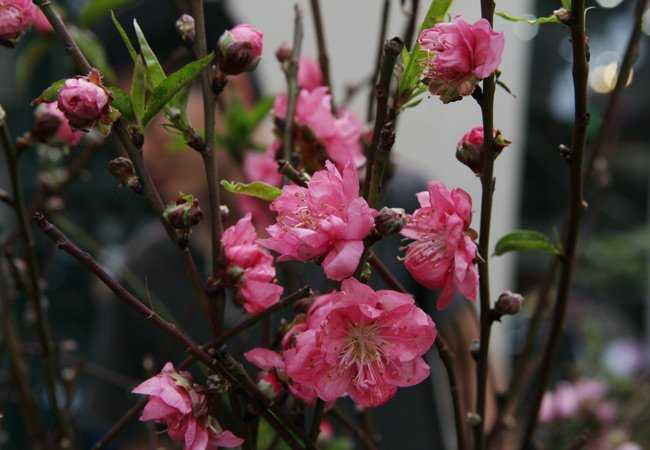 Những cành đào Nhật Tân với nụ, lộc và hoa nở bung cánh, khoe sắc thắm