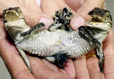 Con cá sấu 2 đầu xuất hiện tại trang trại cá sấu Samut Prakarn ở ngoại ô thành phố Bangkok - Thái Lan