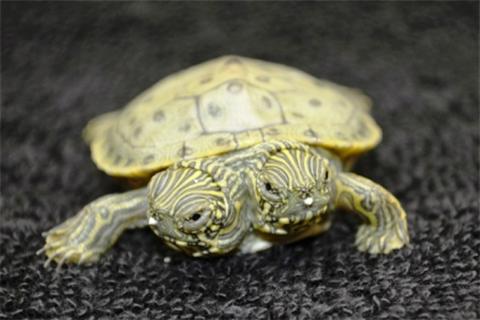 Rùa hai đầu có kích thước khá bé so với bình thường