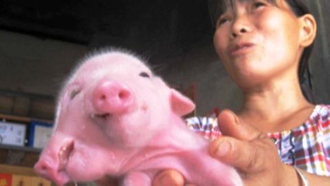 Lợn hai đầu ba mắt