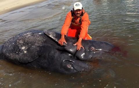 Cá voi xám 2 đầu đầu tiên trên thế giới