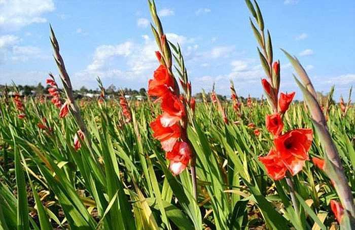 Hoa dơn là một trong những loại hoa chơi Tết được nhiều người ưa chuộng bởi loại hoa này khá bền, tươi lâu và mang vẻ đẹp tinh tế, dịu dàng. Các màu sắc đỏ, vàng... của hoa dơn cũng tượng trưng cho may mắn, phú quý năm mới.