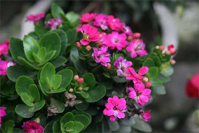 Hoa sống đời một loài hoa nhỏ nhắn mang sức sống bền bỉ, mãnh liệt cũng được yêu thích trong dịp tết. Nó tượng trưng cho sự sinh sôi, nảy nở và tình đoàn kết của các thành viên trong gia đình.