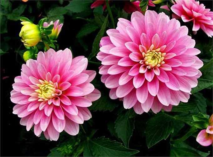 Hoa thược dược cũng là một gợi ý khi bạn muốn chọn một loại hoa đẹp, bền, nhiều màu sắc nổi bật cho ngày tết.