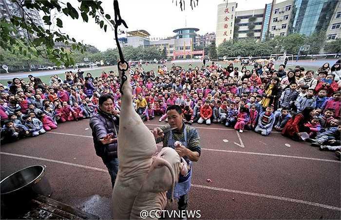 Ở một vài vùng ở Trung Quốc, hàng năm, người dân sẽ mổ lợn để ăn mừng lễ hội truyền thống Mùa Xuân. Nhân sự kiện này, trường tiểu học Yudaishan ở Trùng Khánh đã đưa 'màn trình diễn' mổ lợn vào trường học để nâng cao nhận thức về truyền thống cho học sinh. (Nguồn: CCTVNews)