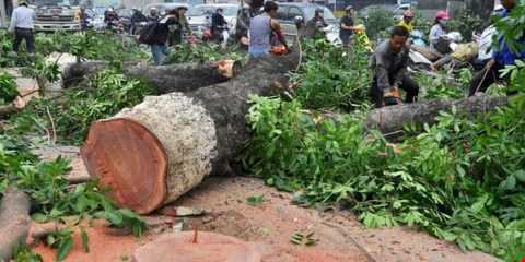 Nhiều cây xanh ở Hà Nội bị chặt hạ để thay thế khiến dư luận bức xúc (ảnh minh hoạ)