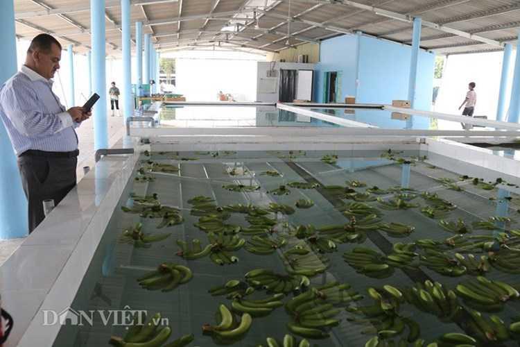 Sau khi được cắt thành từng nải, chuối tiếp tục được thả bơi trong bể nước để làm sạch.