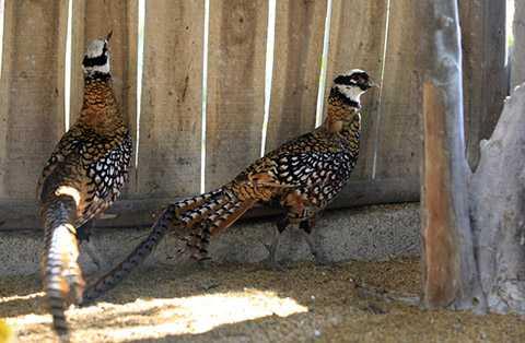 Chim trĩ Hoàng Đế được nuôi ở Vườn chim Việt của anh Giáp ra đời cách đây hơn 10 năm, là trại nuôi chim đầu tiên và duy nhất cho đến nay được cấp phép nuôi chim sinh sản và bảo tồn các loài động vật quý hiếm ở Việt Nam.