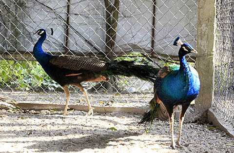 Chim Công cũng được nhân giống và nuôi nhiều trong Vườn Chim Việt. Anh Giáp cho biết, khoảng 50% động vật trong trang trại như chim trĩ, vịt trời… được nuôi làm thương phẩm. Những loài có giá trị lên đến hàng trăm triệu đồng/con như vẹt, hồng hạc, hắc hạc, anh chỉ để bảo tồn và nuôi chơi, chứ không bán mà bán chim giống và lấy tiền đó để đầu tư cho trang trại.