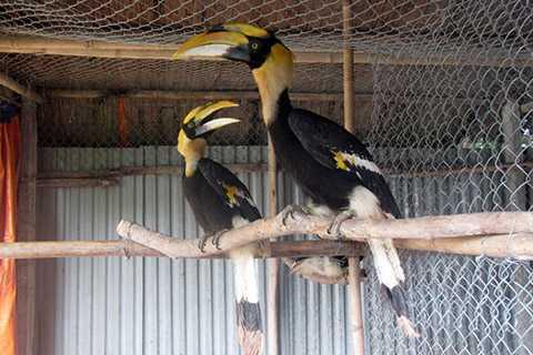 Anh Giáp giới thiệu với chúng tôi một đàn chim Lạc Hồng, còn được giới điểu học gọi là chim Việt - loài được in hình trên trống đồng, quốc bảo của Việt Nam nhưng lại rất ít người biết về nó.