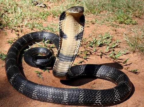 Người dân cho rằng có bầy rắn ngự luôn canh giữ kho tiền