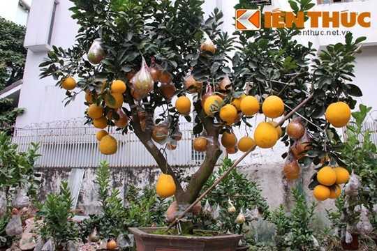 Những cây bưởi cảnh chơi Tết đẹp, lạ mắt đã được nhà vườn Hoài Đức tập kết tại một khu vườn trên đường Lạc Long Quân (Hà Nội). Theo người trông vườn cảnh, những chậu bưởi ở đây có cây lên tới 100 quả.