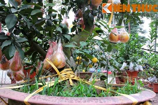 Để bảo quản bưởi không bị rụng hay trày xước khi vận chuyển, nhà vườn đã bọc nilon cẩn thận cho từng quả.