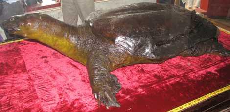 Tiêu bản rùa khổng lồ trong đền Ngọc Sơn