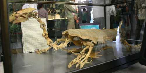Bộ xương rùa trưng bày ở Bảo tàng Hà Nội dịp kỷ niệm 1000 năm Thăng Long - Hà Nội