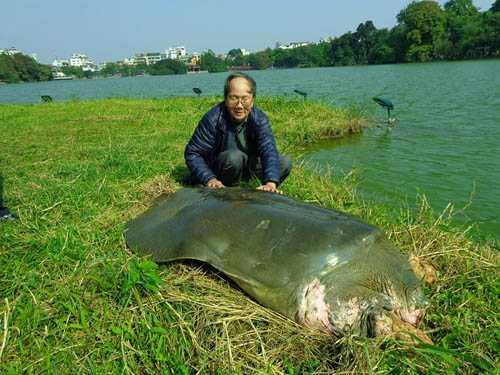 PGS.TS Hà Đình Đức trong một lần tiếp cận, chăm sóc cụ rùa Hồ Gươm: Ảnh Hà Đình Đức