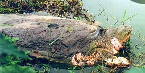 Cụ rùa trong Hồ Gươm vừa qua đời