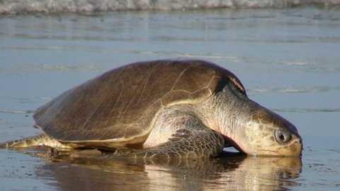 Rùa Vích