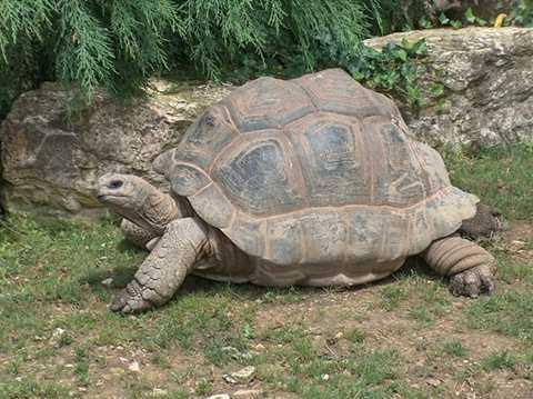 Rùa Galápagos
