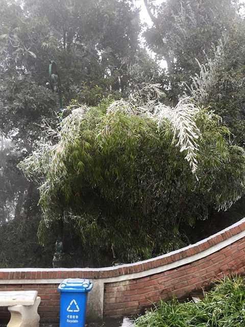Băng tuyết đọng lại trên lá cây ở Ba Vì