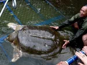 Rùa hồ Gươm trong chiếc bể chữa trị, chăm sóc dưới chân Tháp Rùa