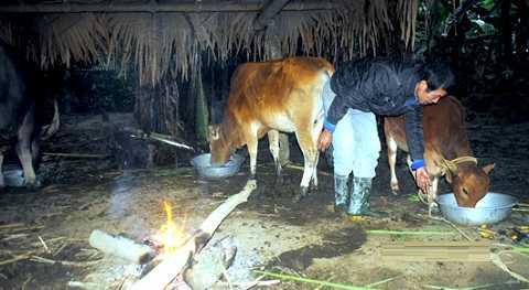 Số ít trâu bò được bà con đốt lửa sưởi ấm - Ảnh: NAO