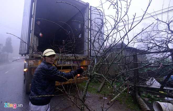 Nhiều người ở Quảng Ninh, Hải Phòng đánh cả <a href='http://vtc.vn/oto-xe-may.31.0.html' >xe co</a>ntainer lên để mua đào về. Người đàn ông này cho biết, đào Sa Pa đẹp và được nhiều khách hàng ưa chuộng.