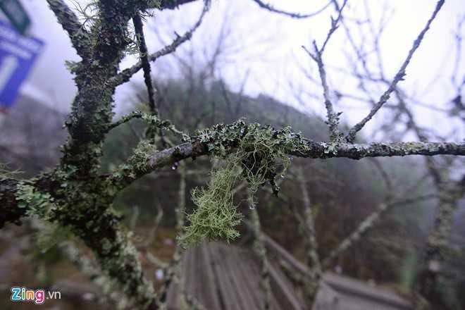 Đào rừng mốc meo, nhiều cây địa y mọc lên là đào cổ thụ lâu năm. Thân càng to, dáng đẹp có giá càng đắt.