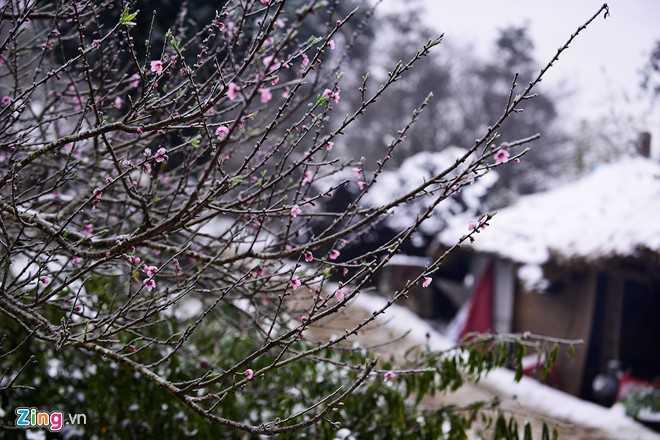 Đào rừng có một vẻ đẹp riêng và những người đã trót mê đào rừng thì thường chỉ thấy loài hoa này đẹp, chê đào dưới xuôi.