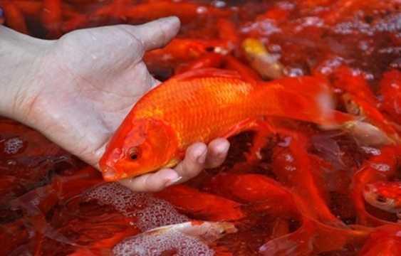 Cá chép cúng ông Táo (tùy loại và kích thước lớn nhỏ) có giá từ 8.000 - 25.000 đồng/con.