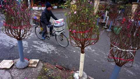 Hoa đào nở rực rỡ đã được bày bán khá nhiều tại chợ hoa Quảng Bá.
