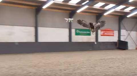 Đại bàng được huấn luyện để săn máy bay không người lái