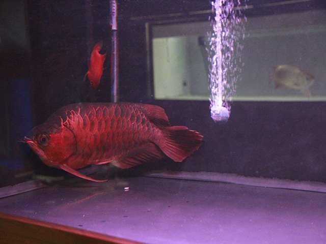 Cá huyết long thường có màu vây đỏ sậm và đều ngay từ khi còn nhỏ. Chúng còn có màu sắc nổi bật và lưng thật sậm màu. Những con cá đẹp cũng có nhiều màu ánh kim trên thân.