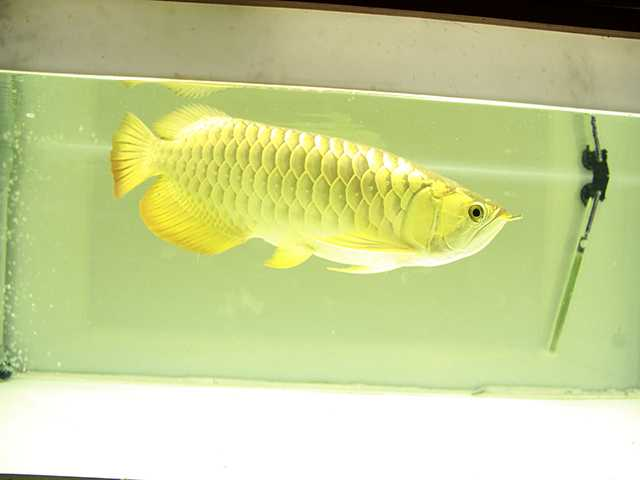 Có hình dáng và màu sắc giống thỏi vàng nên được nhiều người chơi săn lùng.